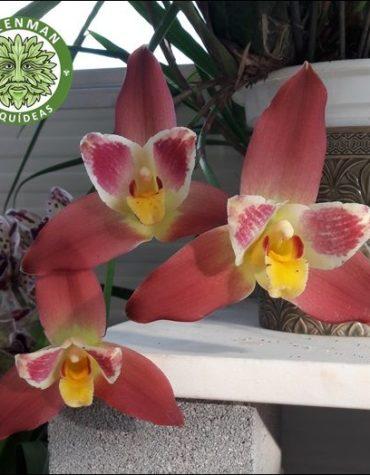 Orquídeas Híbridos